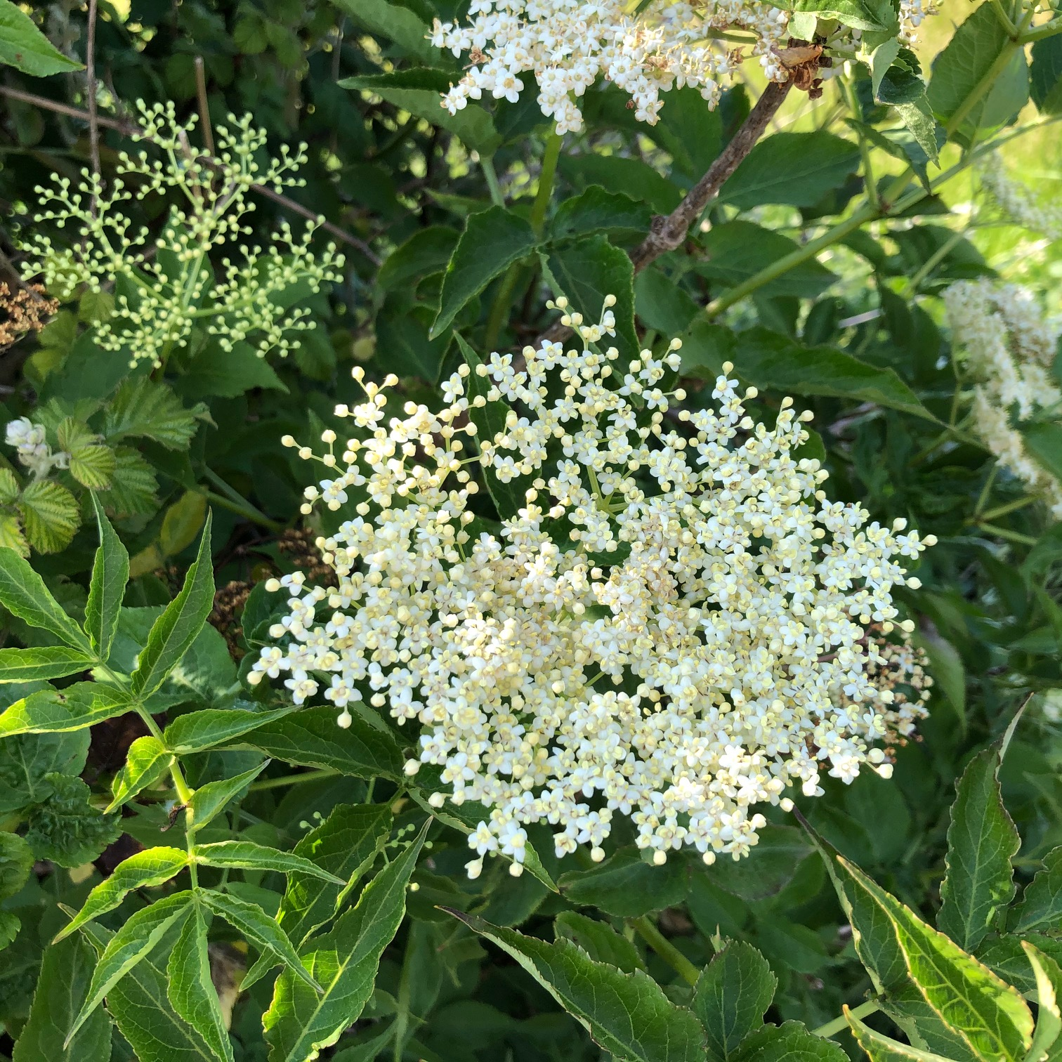 Foraging for Elderflowers to Make Cordial 3