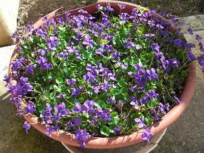 L'amour est un bouquet de violettes... dans j'adore