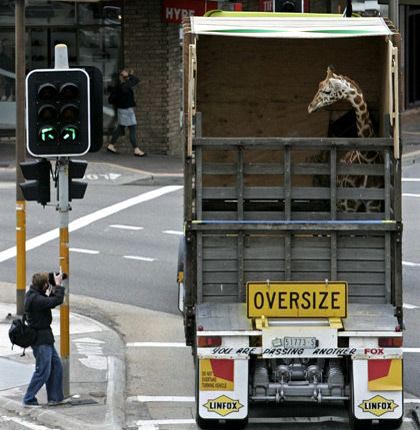 photo of a giraffe in a semi going through New York