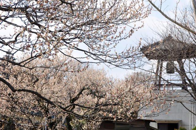 西光寺脇の白梅
