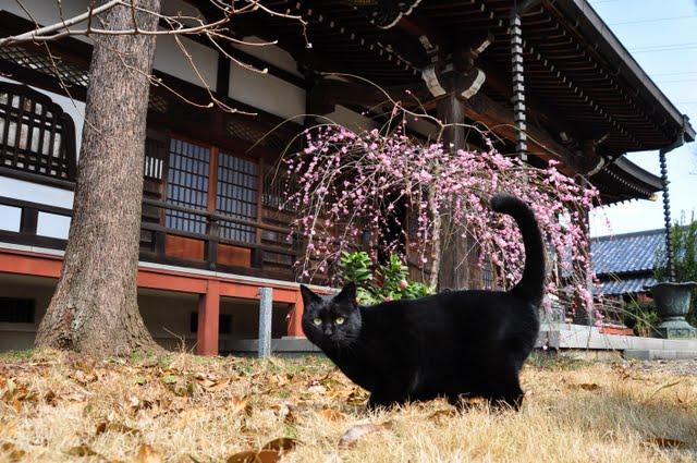 しだれ梅と猫