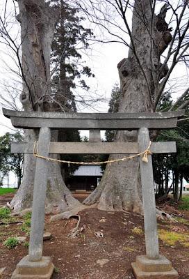 白鬚神社鳥居と大ケヤキ
