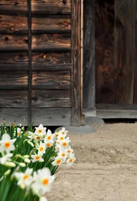 長屋門前の水仙
