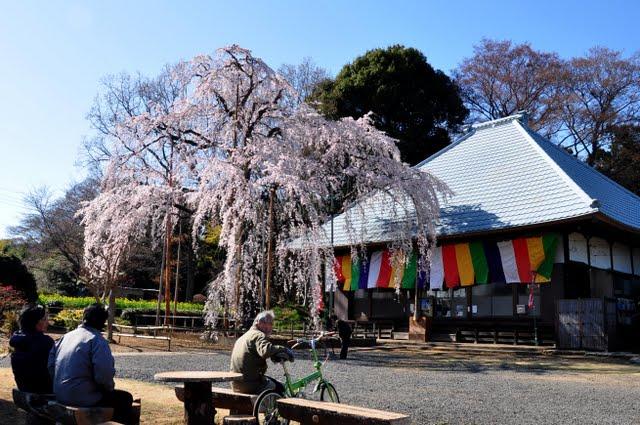 慈眼寺しだれ桜全景