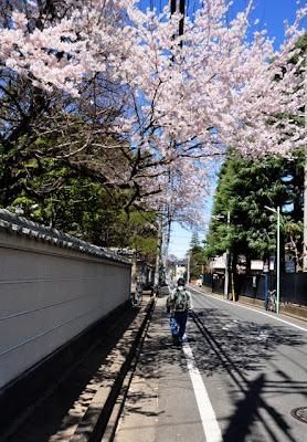 中院前の道と桜