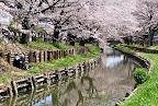 川越氷川神社裏の桜へ