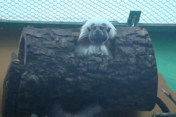 Tamaryna białoczuba z Ogrodu Zoobotanicznego w Toruniu