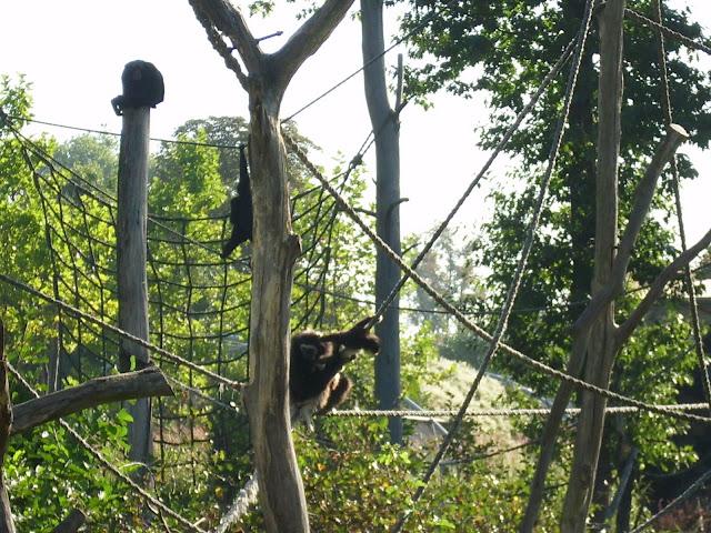 Wyspa gibonów w opolskim zoo
