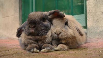 как познакомить двух кроликов