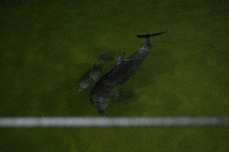 泳ぐイルカの親子の写真