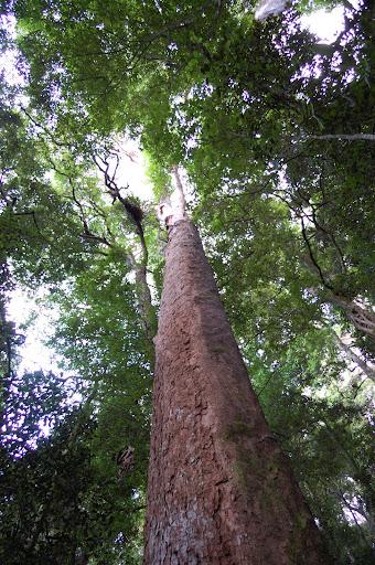 ケーブ・サーキットの巨木の写真
