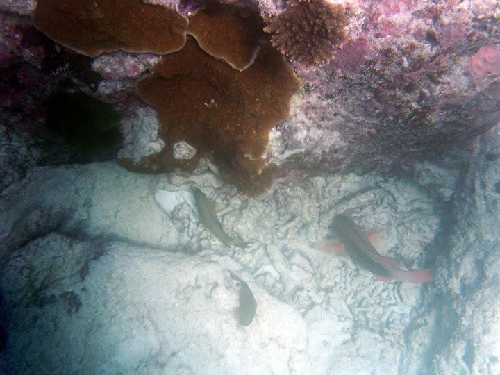 海のそこの珊瑚と魚・レディエリオット島の写真