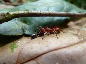 Fourmi mangeant une autre fourmi