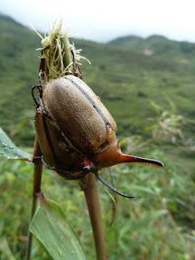 Coléoptères licorne