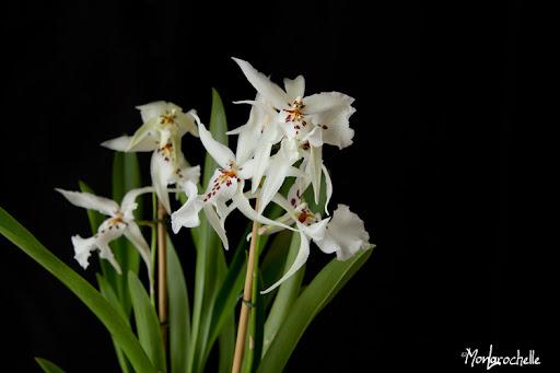 Odontoglossum Winter Wonderland White Fairy OrchOdontoglossumWinterWonderlandWhiteFairy110214_0061RM