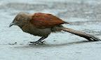 Brown Coucal ( Andaman crow pheasant -Centropus andamanensis