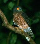 Andaman Hawk Owl(Ninox affinis)