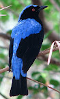 Asian fairy Blue Birds(Irenapualla)