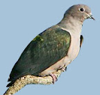 Green Imperial Pigeon(Ducula aenea)
