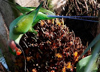 Long Tailed Parakeet or  Red-cheecked parakeet (Psittacula logicauda)