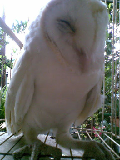 Download 730+ Foto Gambar Burung Hantu Albino HD Terbaru