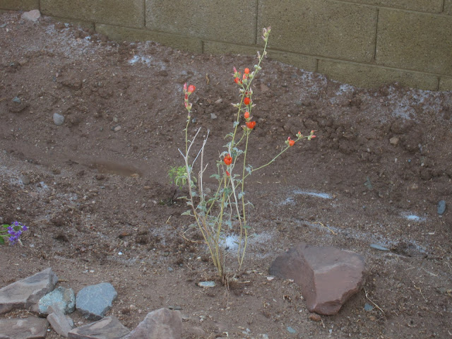 Globemallow, an Arizona native plant
