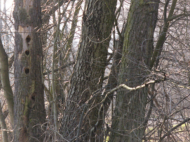 Drzewa Cudaki