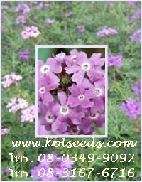 เมล็ดพันธุ์ไม้ดอก เวอร์บีน่า