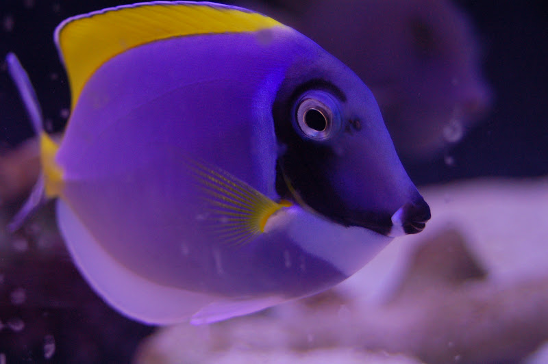 The gallery for --> Blue Tang