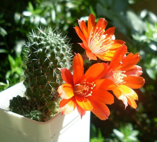 Наши кактусы - Страница 9 SDC18741