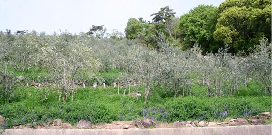 オリーブゾウムシにやられたオリーブ農園