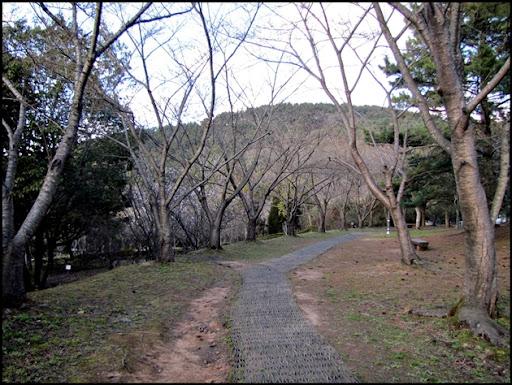 Life in Jeju 63 ดอกซากุระที่เกาะเชจูบานแล้ว เย้