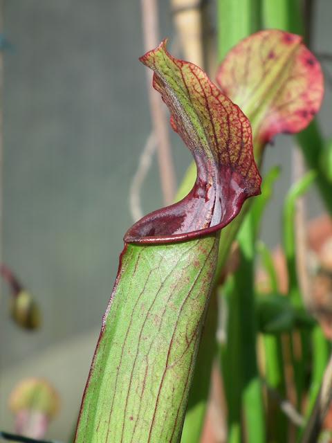 Sarracenia, vigueur du printemps DSCF2218