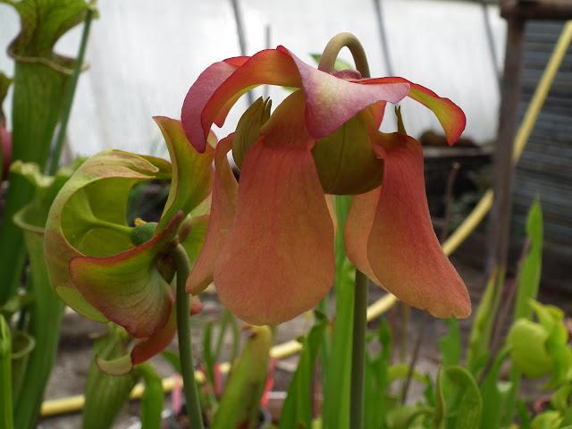 Sarracenia, vigueur du printemps DSCF2349