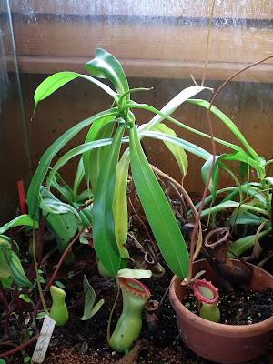 Grand terrarium à Nepenthes à vendre DSCF2318