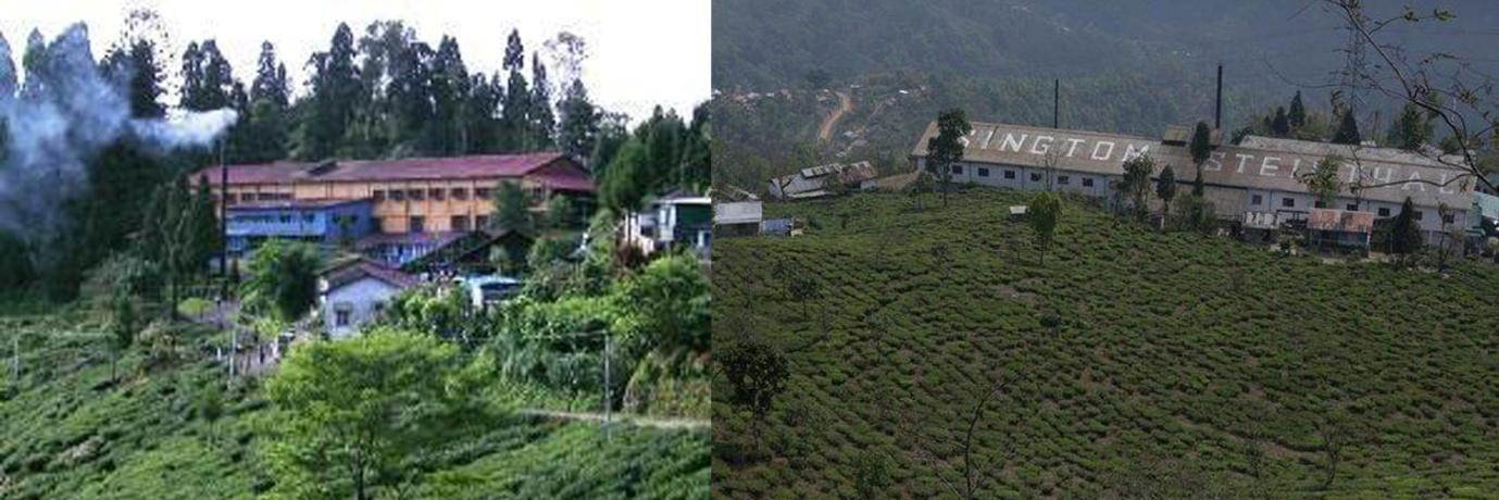 The Hill Tea Gardens of Bengal