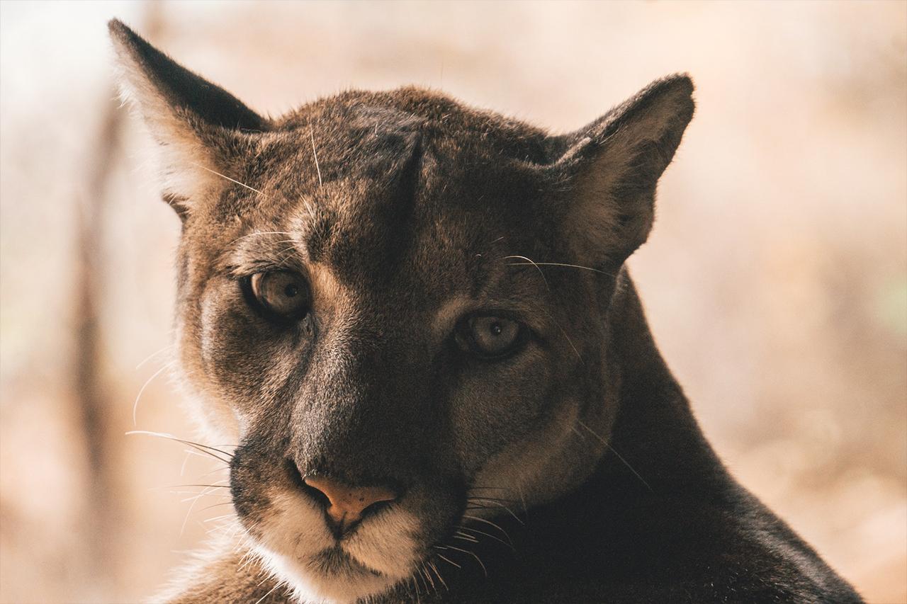 montan lion Zion national park