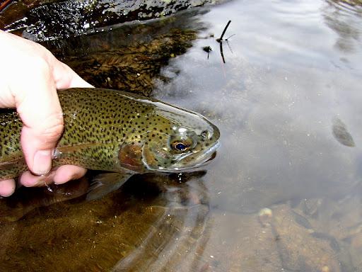 Finally some trout - Euro Style SalmonRiverTMATroutCR