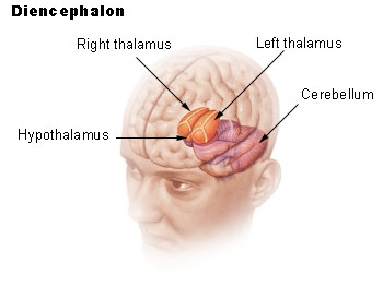 https://upload.wikimedia.org/wikipedia/commons/4/4e/Illu_diencephalon.jpg