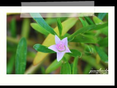 wild flower at Anda Global Beach Resort