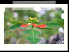 poinsettia at Anda Global Beach Resort