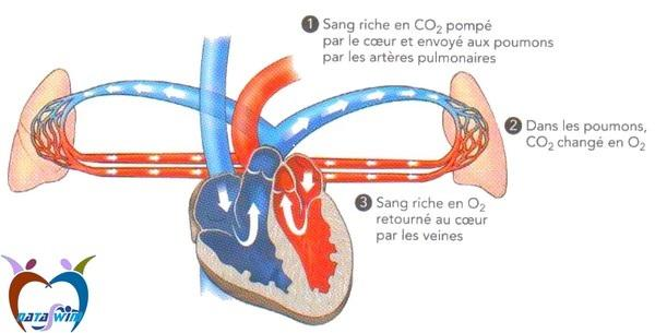 système_cardio-vasculaire-4.jpg