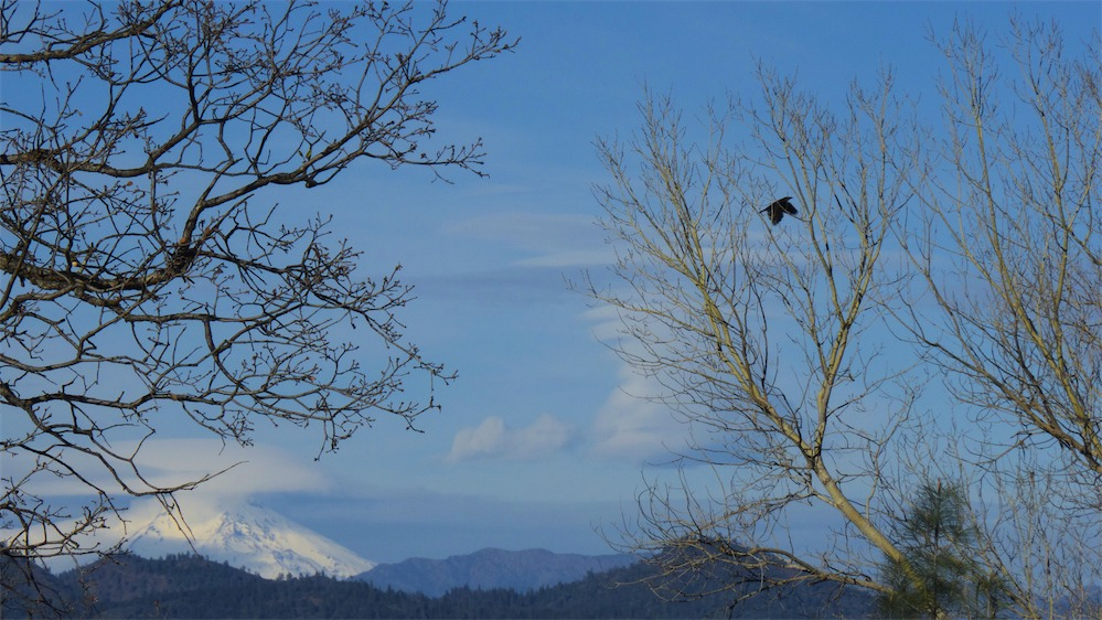 Shasta Trees Crow.jpg