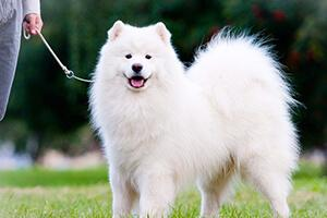 Собаки самоеды: почему так называется порода, история происхождения, фото  питомцев, их описание, черты характера и правила ухода