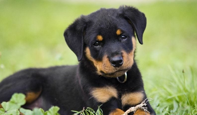 6ème race de chien la plus chère: Rottweiler