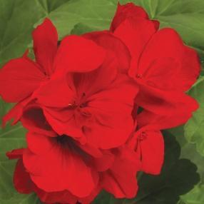 Image result for geranium boldly dark red