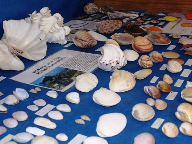 Conchas estão em exposição (Foto: Museu e Aquário de Bombinhas/Divulgação)