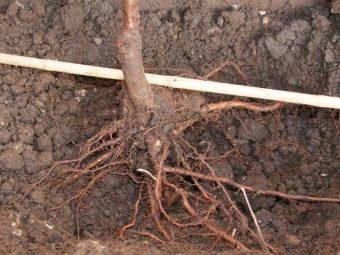 корень черешни