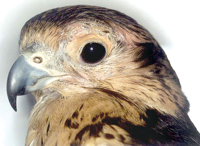 The same falcon as in Fig 40.48 after treatment and 2 weeks after surgery
