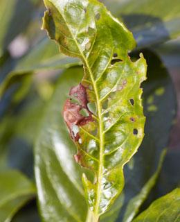 bordas de folhos irregular cuidados com bonsai